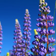 Blue lupines on summer field - Stock Photo