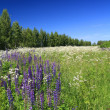 Blue lupines on summer field — Stock Photo
