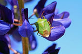 Green bedbug on blue lupine — Stock Photo