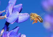 Bee with pollen on blue lupine — Stock Photo