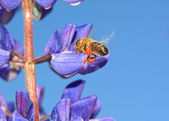 Bee with pollen on turn blue lupine — Stock Photo