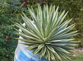 Agave — Foto Stock