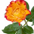 Stock Photo: Orange rose flower