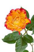 Laranja flor rosa — Foto Stock