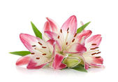 Three pink lily — Stock Photo