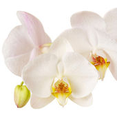 Close-up of white orchids flowers on white background — Stock Photo