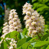 Spring blossoming chestnut flowers — Stock Photo
