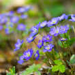 Blue flowers of Hepatica Nobilis close-up (Common Hepatica, live — Stock Photo