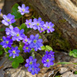 Stock Photo: Blue flowers of Hepatica Nobilis close-up (Common Hepatica, live