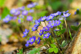 Blue flowers of Hepatica Nobilis close-up (Common Hepatica, live — Stock Photo