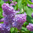 Stock Photo: Green branch with spring lilac flowers