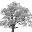 Black and white (monochrome) picture of a single oak tree — Stock Photo