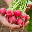 Royalty-Free Stock Photo: Fresh organic radish in woman's hand