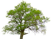 Green oak tree isolated on white background — Stock Photo