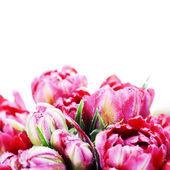Roze tulpen — Stockfoto