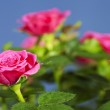 Pink roses — Stock Photo #12272591