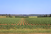 Prince Edward Island potato field — 图库照片