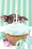 Sneaky cupcake dog — Stock Photo