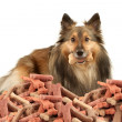 Sable Sheltie with dogbone - Foto de Stock  