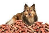 Sable Sheltie with dogbone — Stock Photo