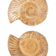 The two sides of an ammonite fossil shell — Stock Photo