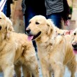 tre golden retriever promenader i en gata — Stockfoto