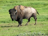 Wild Bison in Yellowstone National Park at Summer, USA — Stock Photo