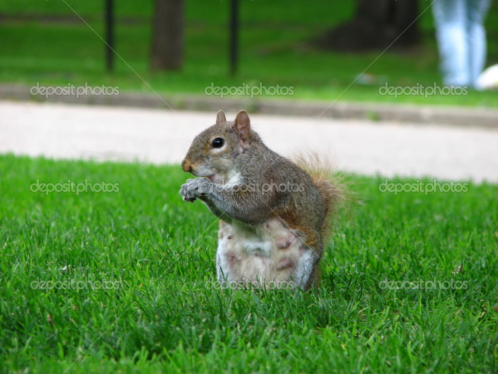 Squirrel in a Park, London — Stock fotografie #11802182
