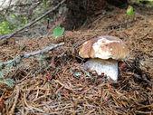 -ormanda küçük çörek porcino i̇talya — Stok fotoğraf