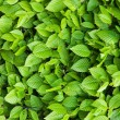 Green leaves background — Stock Photo #11626113