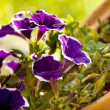 Violet flowers outdoros — Stock Photo