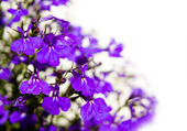 Violet flowers isolated on white — Stock Photo
