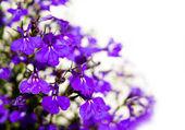 Violett blumen isoliert auf weiss — Stockfoto