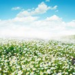 Stock Photo: Daisy field