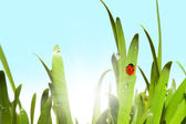 Green grass and ladybug — Stock Photo