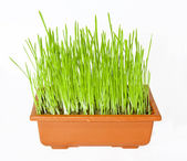 The green grass is planted in a pot of brown. — Stock Photo