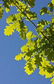 Oak branch in the spring — Fotografia Stock