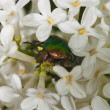 May-bug on a white lilac — Stock Photo