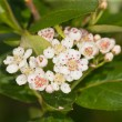 Flowering branch chokeberry — Stock Photo #11010333