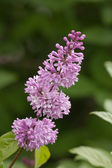 Lilac on green background — Stock Photo