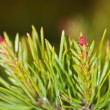 Pine flowering — Stock Photo