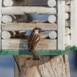 Sparrow on a wooden lodge — Stock Photo