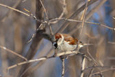Curious sparrow — Stock Photo