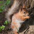 Squirrel — Stockfoto #11317505
