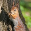 Portrait of a squirrel — Stock Photo