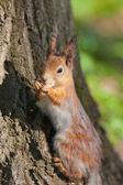 Portrait of a squirrel — Stock Photo