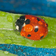Ladybug close up — Stock Photo