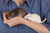 Brown and white rats — Stock Photo