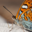 Portrait of a butterfly - Stock fotografie