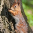 Foto Stock: Squirrel against a tree bark